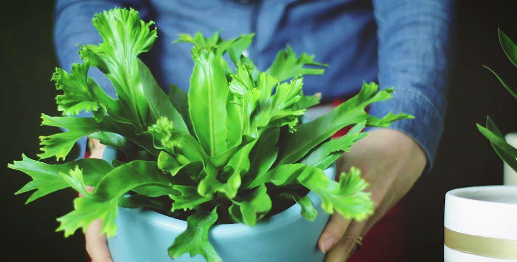 Planta Nini da Generosa