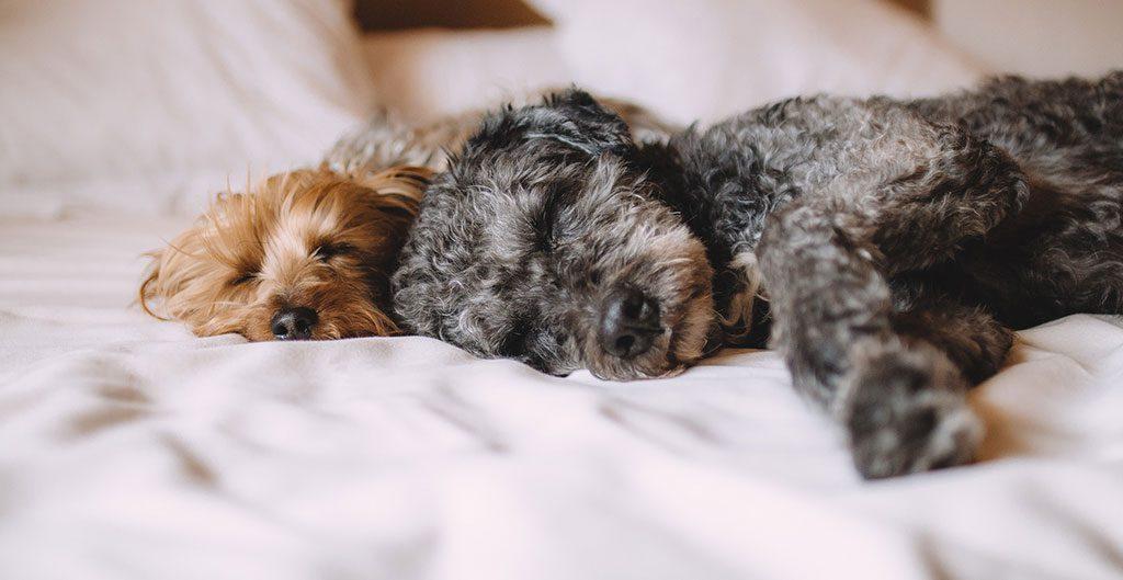 Cães deitados na cama