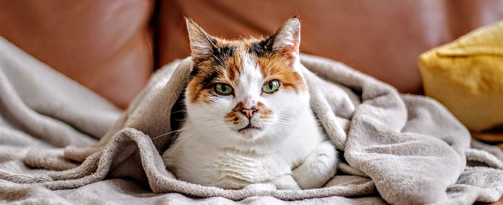 Gato embrulhado numa manta
